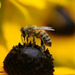 Nahaufnahme Honigbiene