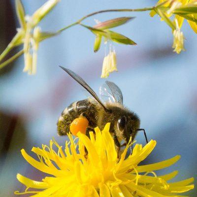 Honigbiene mit vollen Pollentaschen