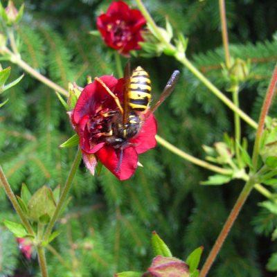 Wespe auf Nektarsuche