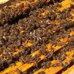 Bienen auf den Rähmchen