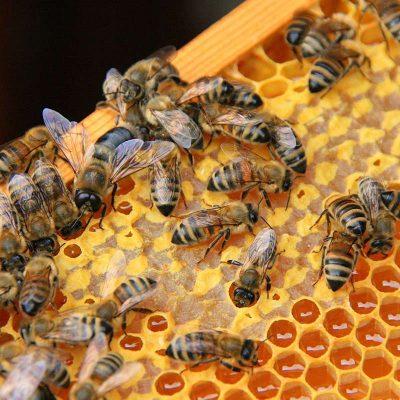 Bienen verdeckeln den Honig