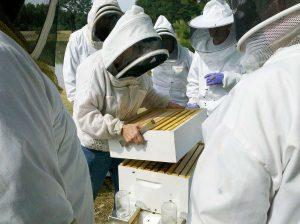 Imker besehen Bienebeute